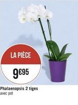 Phalaenopsis  tiges offre à