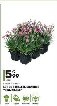 """Lot de 6 oeillets dianthus """"pink kisses"""" offre à 5,99€"""