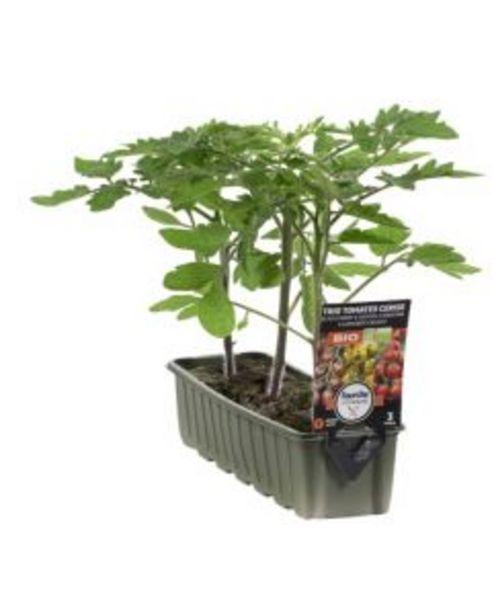 Trio tomates cerise Bio - barquette de 3 plants offre à 2,99€
