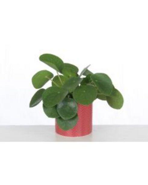 Plantes graphiques d'intérieur - Pot de Ø.10,5 cm offre à 4,95€