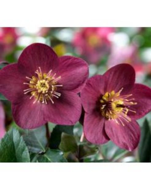 Hellébore Ice N Roses® Early red - Pot de Ø 17 cm offre à 16,95€