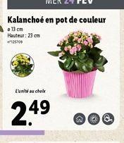 Kalanchoé en pot de couleur  offre à 2,49€