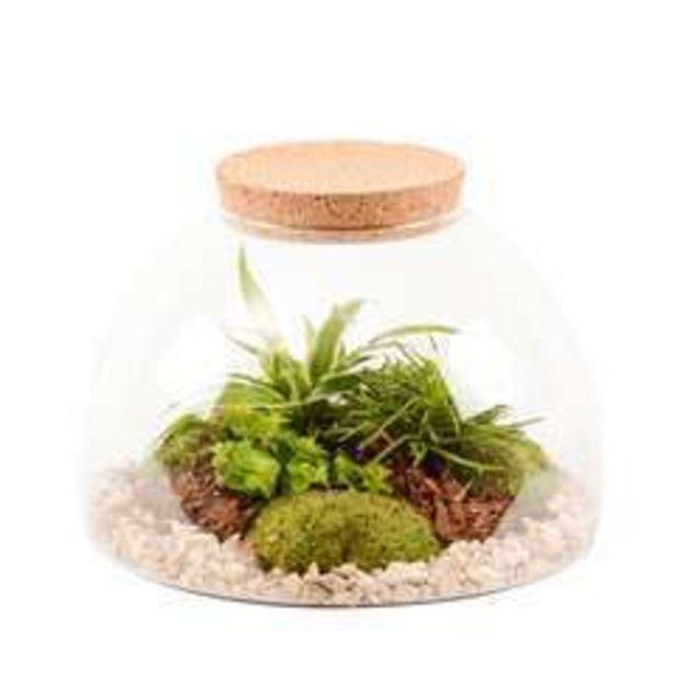 Terrarium Bonheur, 3 plantes offre à 51,5€